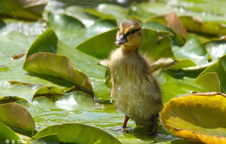Фото обои листья, малыш, крылышки, утёнок, утка, птенец