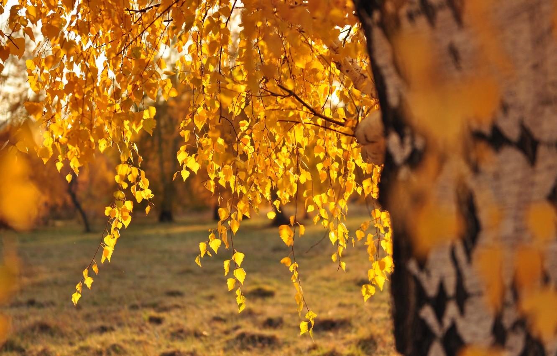 Фото обои листья, солнце, береза, золотая осень