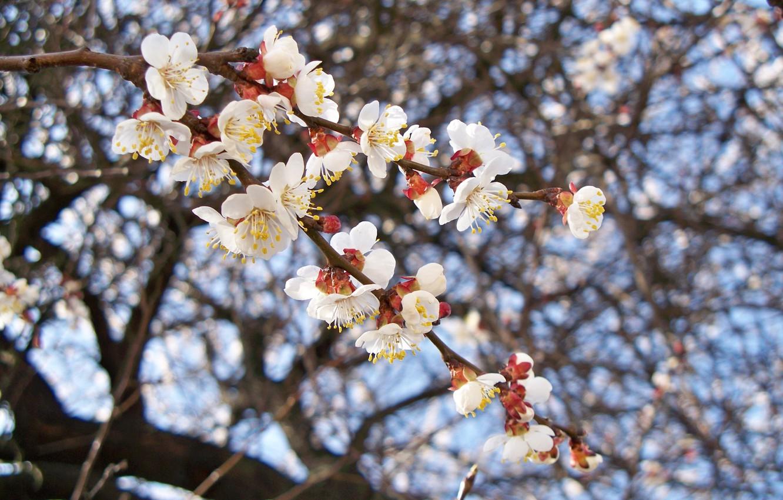 абрикос вишня в цвету фото правда