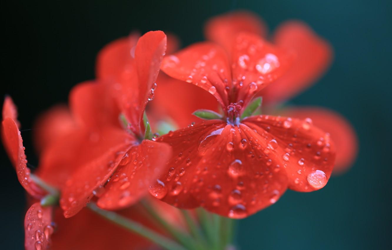 Фото обои цветок, вода, капли, макро, красный, герань, пеларгония