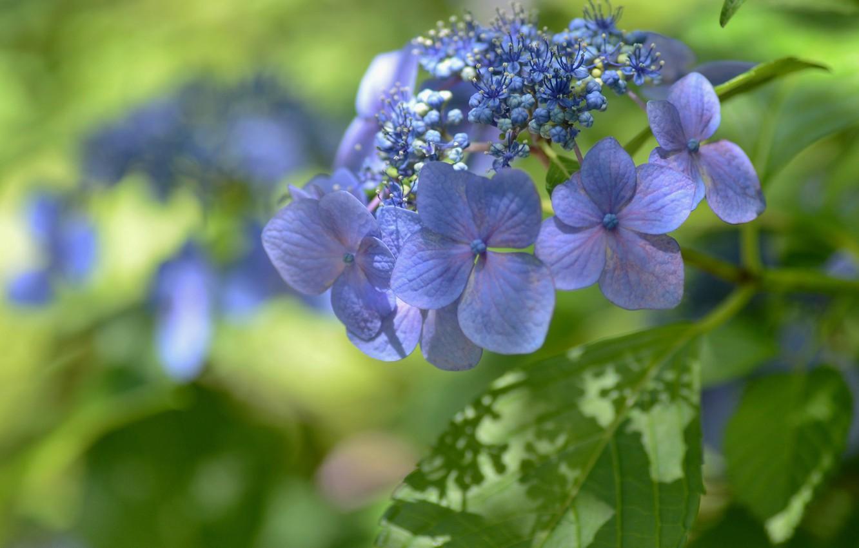 Фото обои макро, цветки, боке, гортензия, соцветие