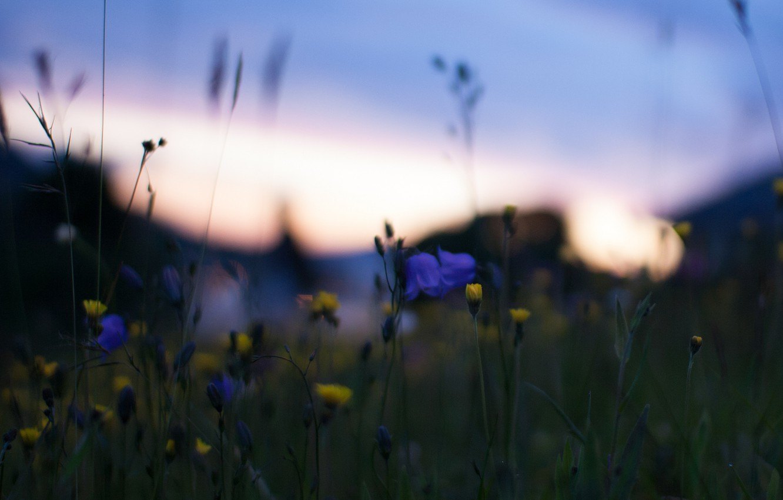 Фото обои макро, закат, цветы, природа, блики, Поле, вечер, желтые, размытость, синие