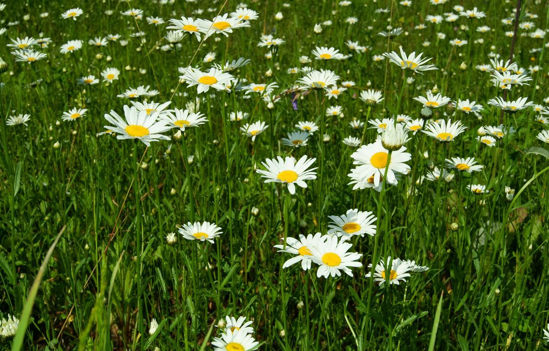 Картинка поляна ромашек