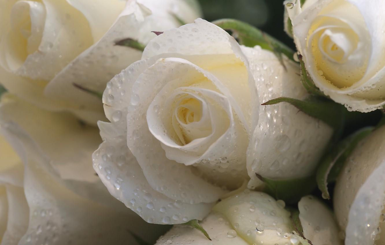 Фото обои капли, макро, цветы, розы, белые