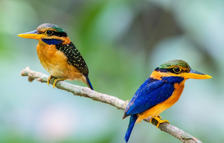 Фото обои птица, ветка, перья, клюв, пара, хвост, зимородок