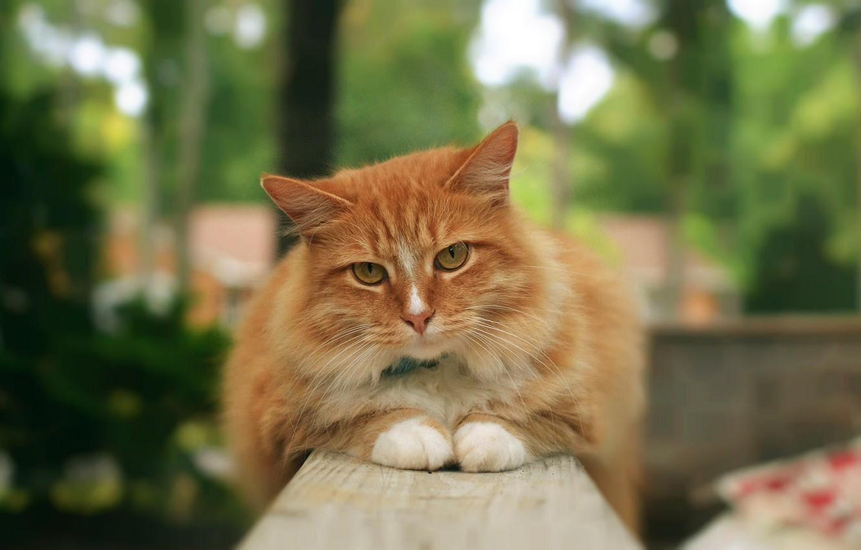Фото обои кошка, кот, рыжий