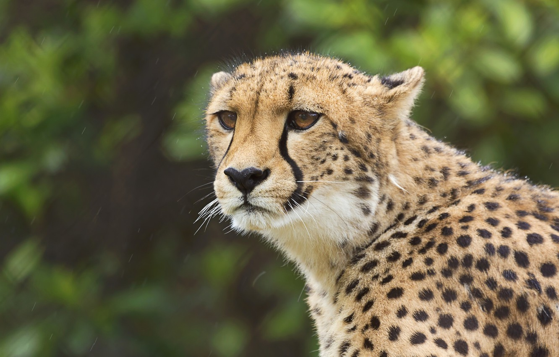 Фото обои взгляд, портрет, гепард, дикая кошка