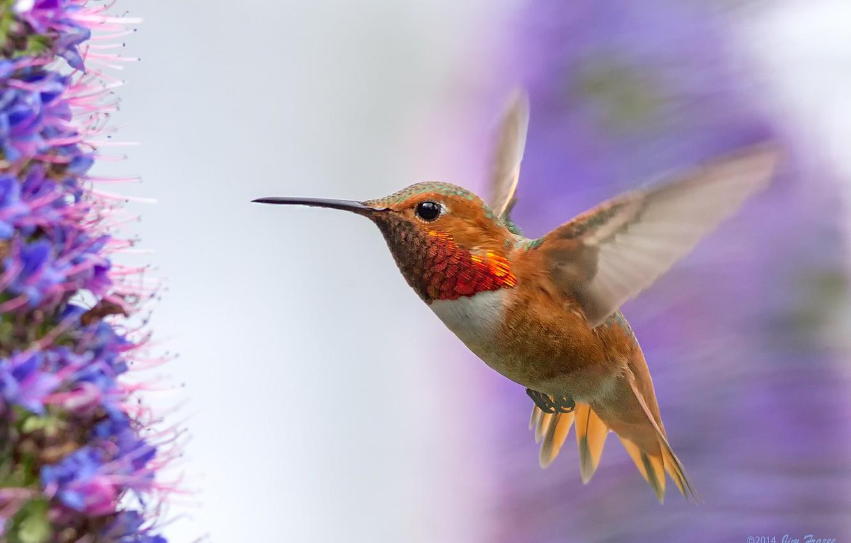 Фото обои полет, цветы, птица, крылья, Колибри, птичка, взмах, сиреневые