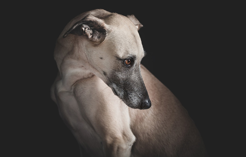 Фото обои взгляд, настроение, меланхолия, Борзая, охотничья собака