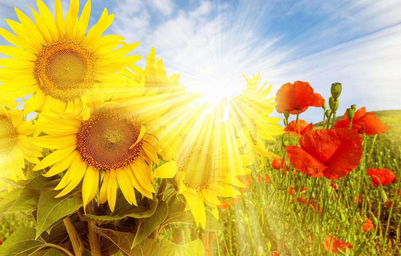 Фото обои поле, подсолнухи, цветы, природа, маки, полевые, солнечные лучи