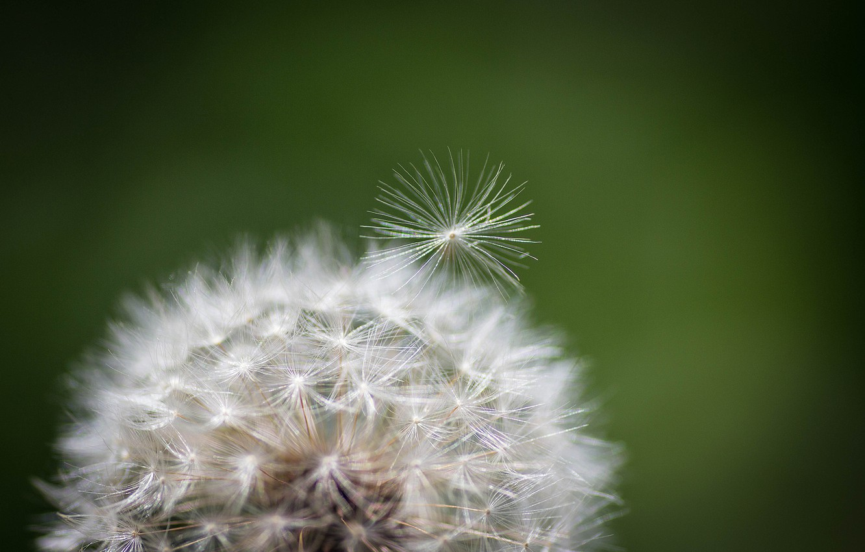 Фото обои цветок, природа, одуванчик, растение