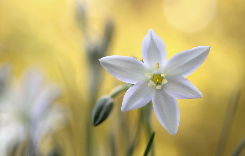 Фото обои макро, природа, лепестки, вифлеемская звезда
