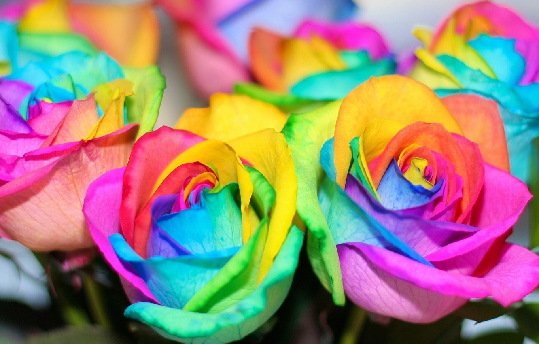 Фото обои цветы, розы, радуга, colorful, rainbow, красочные, flowers, roses