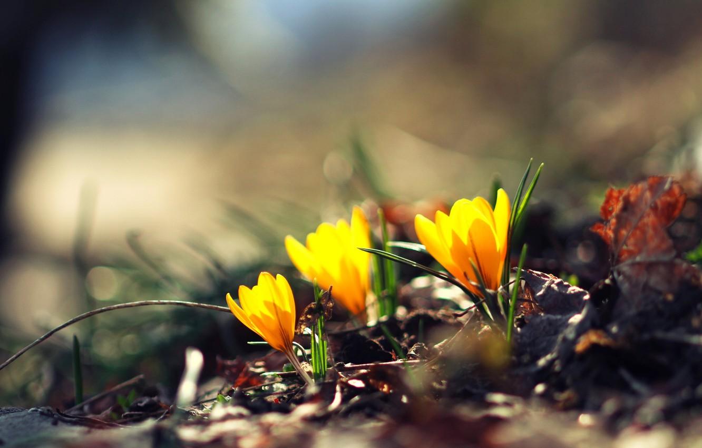 Фото обои зелень, цветок, цветы, желтый, фон, обои, размытие, wallpaper, цветочки, широкоформатные, flowers, background, боке, полноэкранные, HD ...