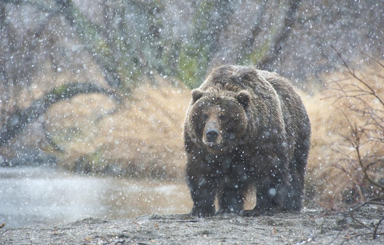 Фото обои снег, медведь, Камчатка