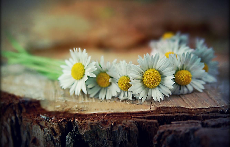 Фото обои цветы, пень, ромашки