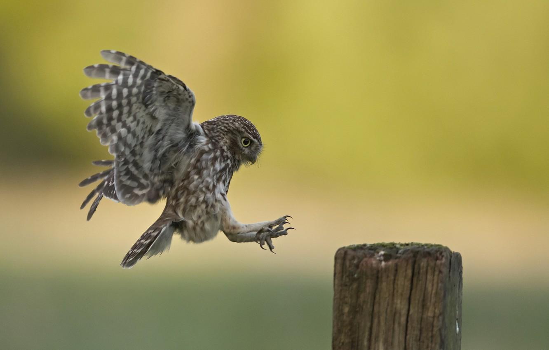 Фото обои природа, птица, Little Owl