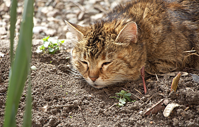 Фото обои кошка, цветы, клумба, огород