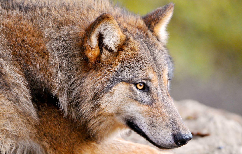 Фото обои животное, волк, хищник