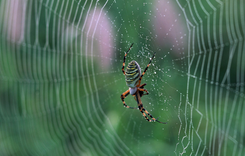 Фото обои паутина, паук, nature, macro