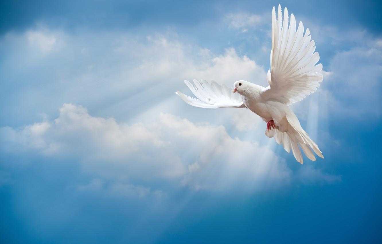 Фото обои небо, птица, мир, white, peace, лучи солнца, sky, dove, pigeon, белый голубь, sunrays