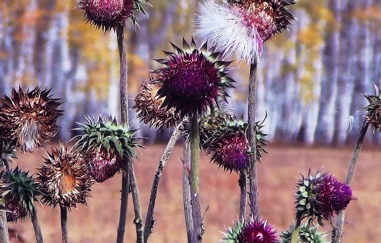 Фото обои осень, трава, природа, колючка, расторопша, Татарник