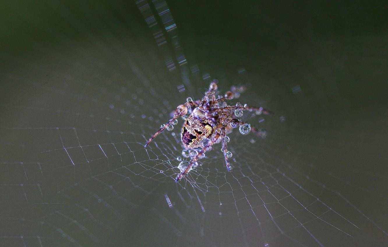 Обои web, wet, Spider, drops. Макро foto 9