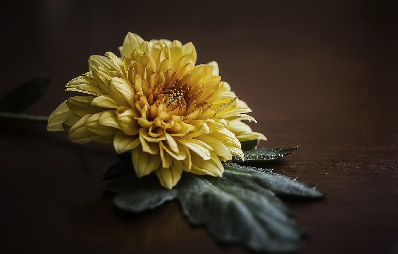 Фото обои макро, лист, фон, лепестки, хризантема