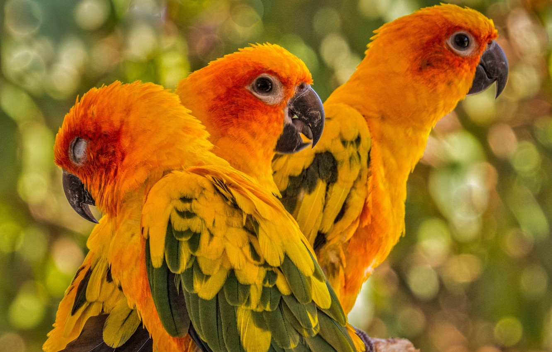 Фото обои птицы, попугаи, трио, Солнечная аратинга