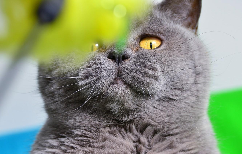 Картинки британских котов приколы, день недели картинки
