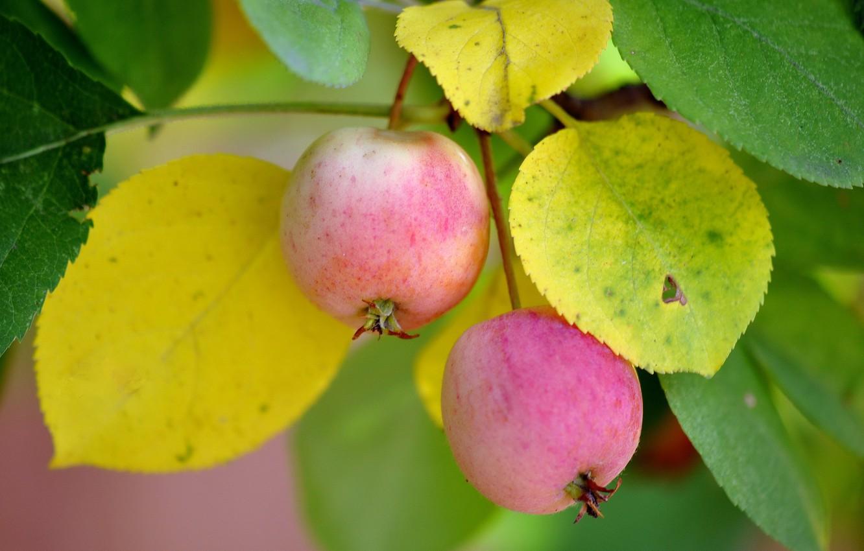 Фото обои макро, природа, яблоки
