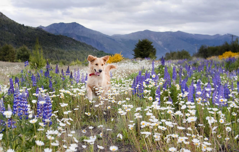 Обои собаки, люпины, цветы, Две собаки, луг. Собаки foto 7