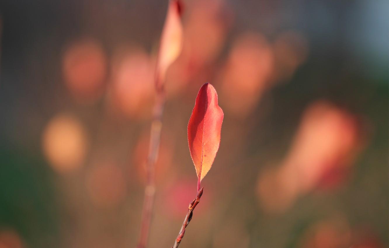 Фото обои осень, листья, ветки, листок, Лист, размытость, красные, red, autumn, leaves, macro, leaf