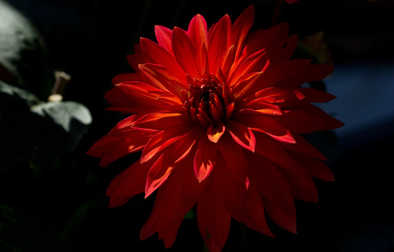 Фото обои цветок, цветы, георгин