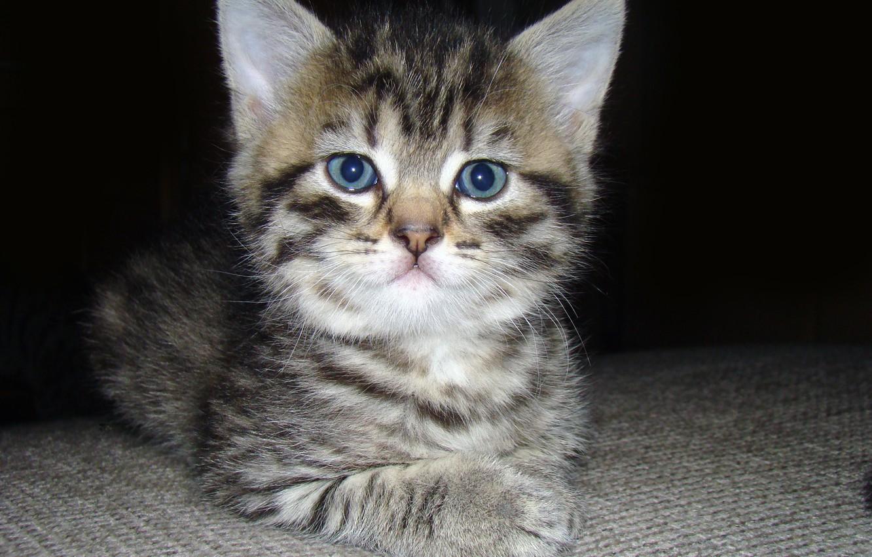 Фото обои глаза, кот, усы, взгляд, котик, пушистый, маленький, мордочка, уши, котёнок, серьёзный, мягкий