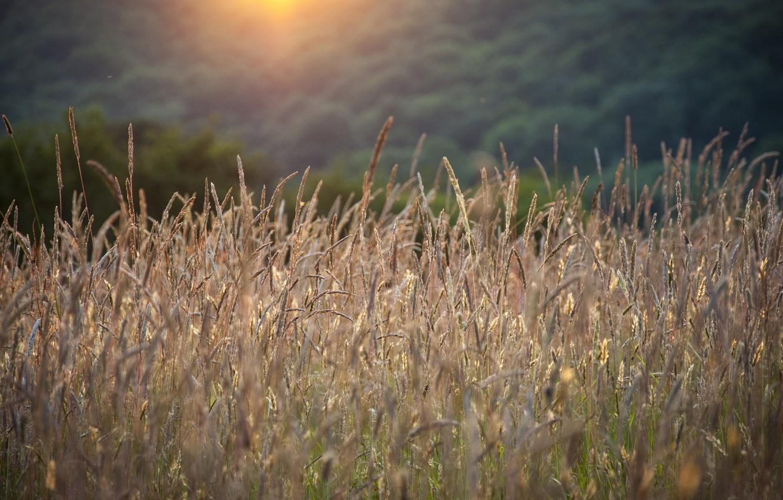 Фото обои лето, трава, колоски, солнечный свет