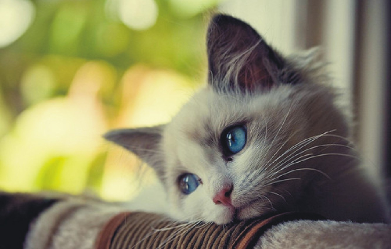 Фото обои белый, кот, пушистый, прекрасный, обожаю кошек