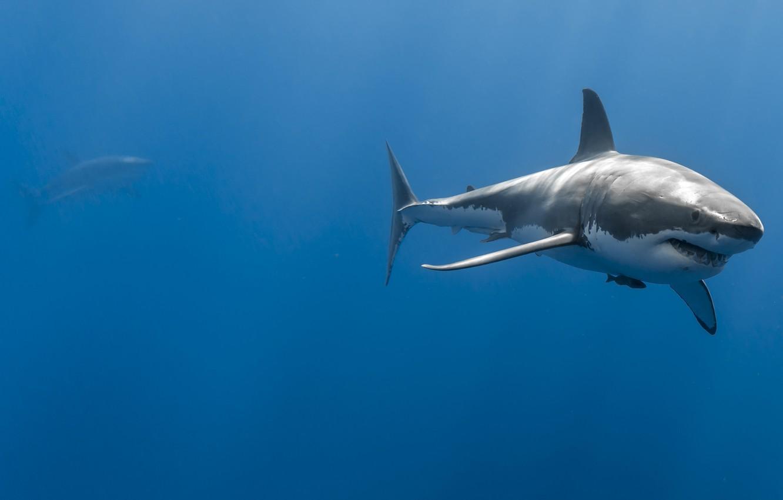 Фото обои море, океан, глубина, пара, акулы, большая белая акула