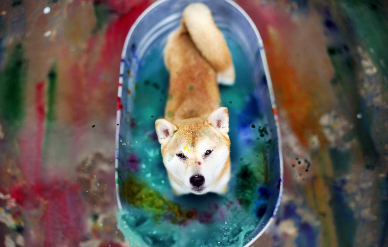 Фото обои взгляд, цвет, собака