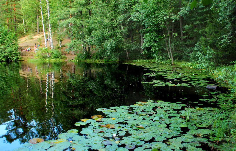 Фото обои природа, озеро, фото, Санкт-Петербург, Россия, кувшинки, Комарово, Дружинное
