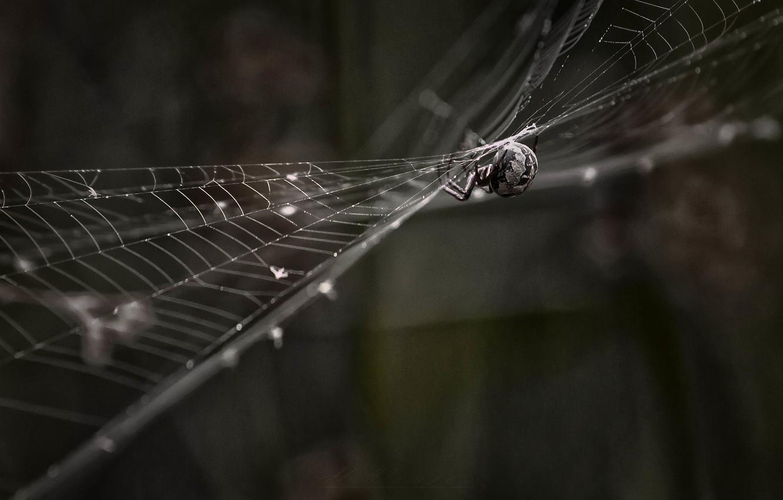 Фото обои паутина, паук, боке