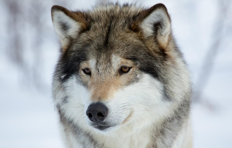 Фото обои взгляд, портрет, хищник, мордочка, Волк, грустный