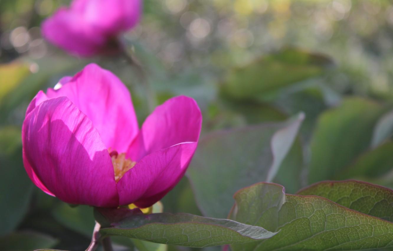 Фото обои цветы, розовый, весна, боке, пион