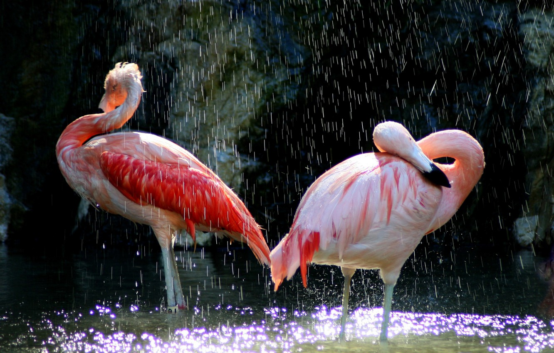 Фото обои вода, птицы, клюв, розовые, фламинго