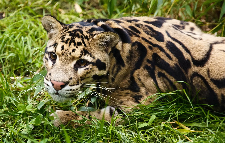 Фото обои трава, взгляд, морда, отдых, дымчатый леопард