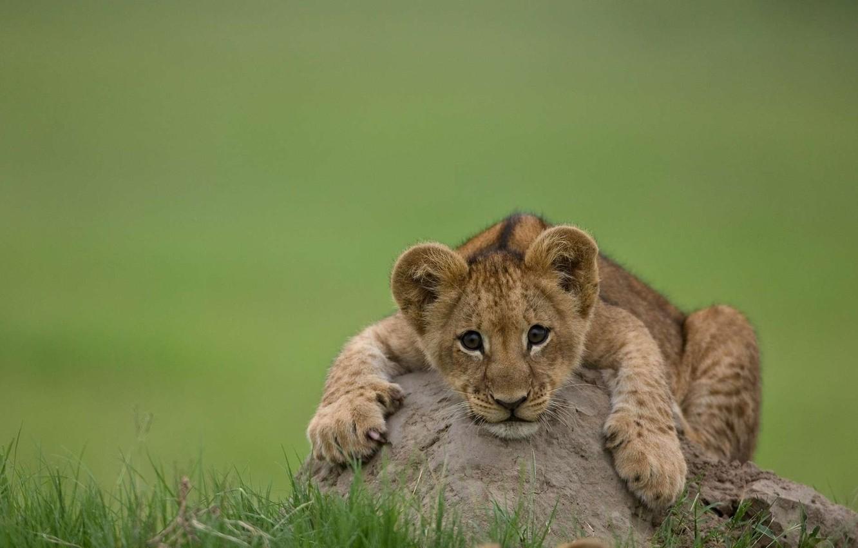 Фото обои кошка, хищник, лев, львенок