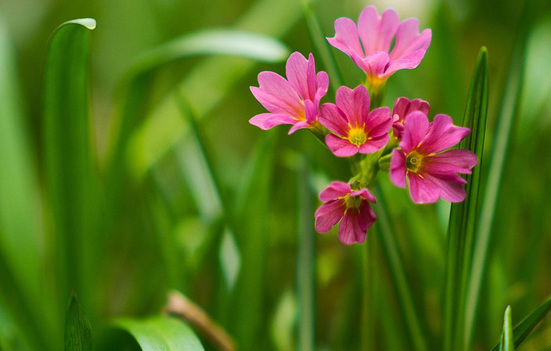 Фото обои макро, примула, первоцвет весенний