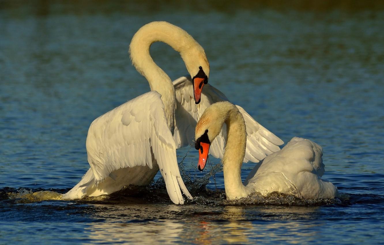 фото открытки лебедей этой