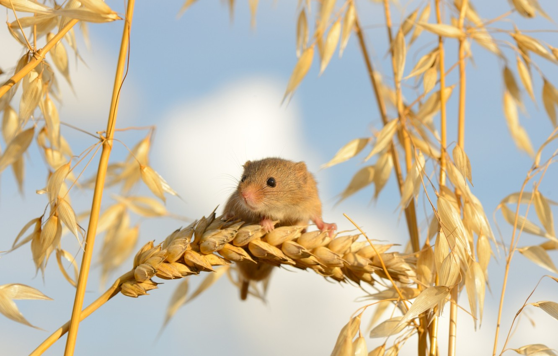 Фото обои макро, мышка, колосья, Harvest Mouse, Мышь-малютка