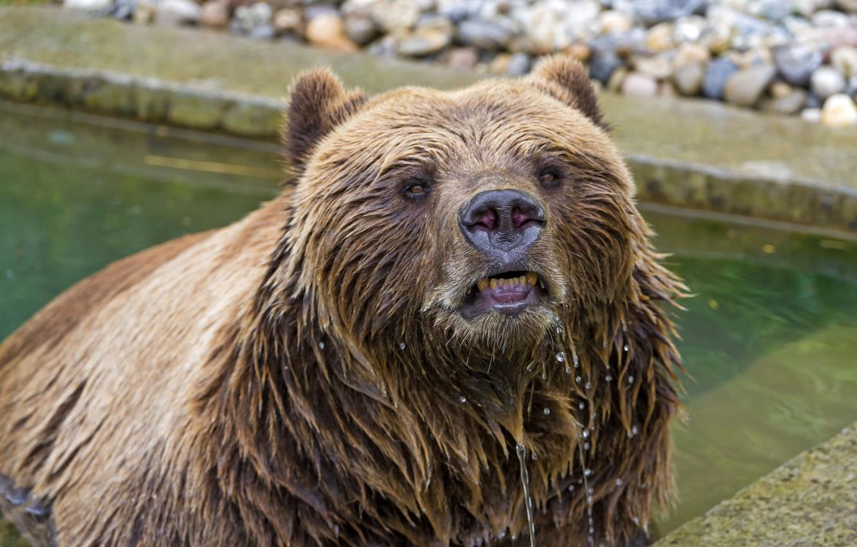 картинки мокрый медведь тиффани создана для